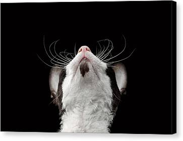 Closeup Portrait Of Cornish Rex Looking Up Isolated On Black  Canvas Print by Sergey Taran