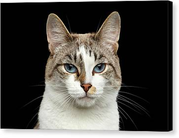Closeup Portrait Of Face White Cat, Blue Eyes Isolated Black Background Canvas Print
