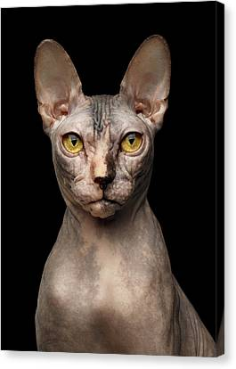 Closeup Portrait Of Grumpy Sphynx Cat, Front View, Black Isolate Canvas Print