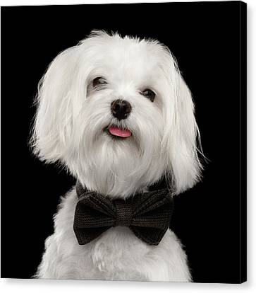 Closeup Portrait Of Happy White Maltese Dog With Bow Looking In Camera Isolated On Black Background Canvas Print by Sergey Taran