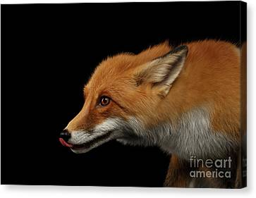 Closeup Portrait Of Liked Red Fox Isolated On Black Canvas Print by Sergey Taran