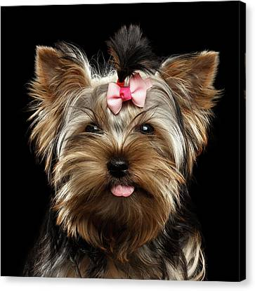 Closeup Portrait Of Yorkshire Terrier Dog On Black Background Canvas Print