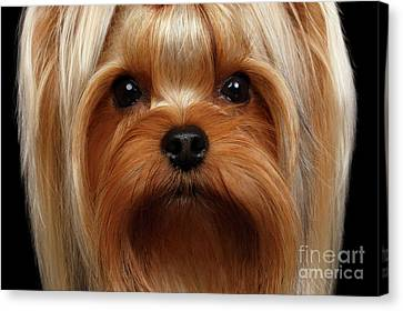 Closeup Portrait Yorkshire Terrier Dog On Black Canvas Print by Sergey Taran