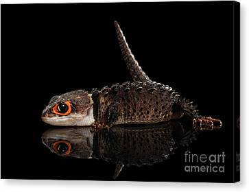 Closeup Red-eyed Crocodile Skink, Tribolonotus Gracilis, Isolated On Black Background Canvas Print by Sergey Taran