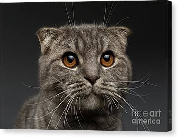 Closeup Scottish Fold Cat On Black Canvas Print by Sergey Taran