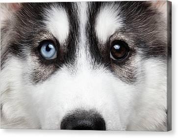 Closeup Siberian Husky Puppy Different Eyes Canvas Print by Sergey Taran