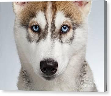 Closeup Siberian Husky Puppy With Blue Eyes On White  Canvas Print by Sergey Taran