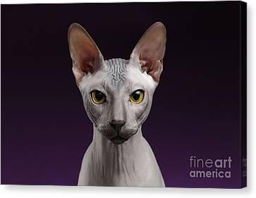 Closeup Sphynx Cat Looking In Camera On Purple Canvas Print by Sergey Taran