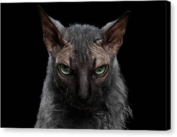 Sphynx Cat Portrait Canvas Print - Closeup Werewolf Sphynx Cat Angry Looking In Camera Isolated Black by Sergey Taran