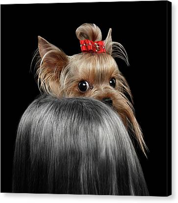 Closeup Yorkshire Terrier Dog, Long Groomed Hair Pity Looking Back Canvas Print by Sergey Taran