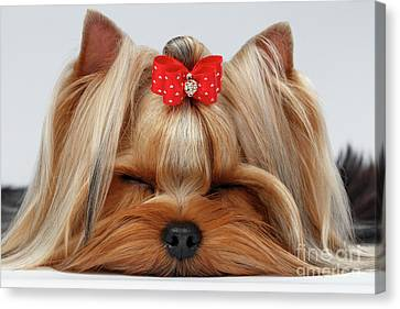 Closeup Yorkshire Terrier Dog With Closed Eyes Lying On White  Canvas Print by Sergey Taran