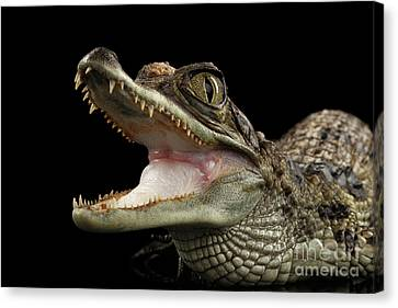 Closeup Young Cayman Crocodile, Reptile With Opened Mouth Isolated On Black Background Canvas Print by Sergey Taran