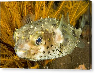 Closeupf Of A Yellowspotted Burrfish Canvas Print by Tim Laman