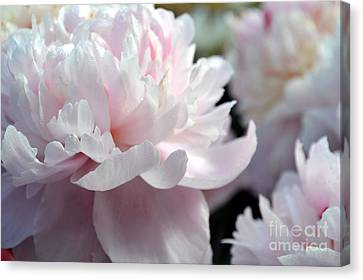 Cloud Of Peonies-47 Canvas Print