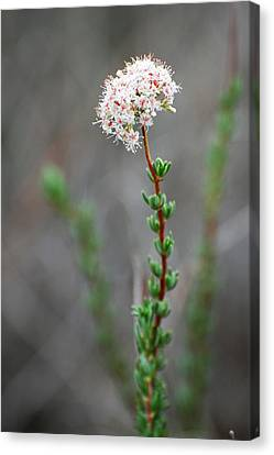 Cloud Puff Wildflower Canvas Print by Jean Booth