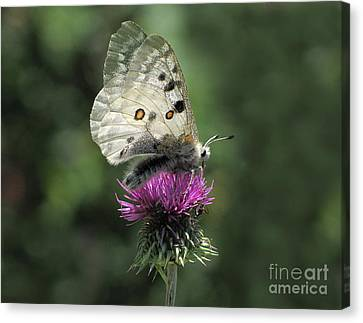 Clouded Apollo Butterfly Canvas Print by Jacqi Elmslie