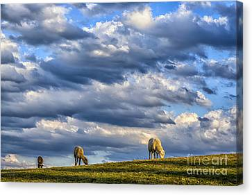 Clouds And Grazing Sheep Canvas Print