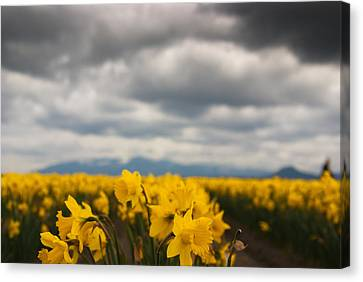 Canvas Print featuring the photograph Cloudy With A Chance Of Daffodils by Erin Kohlenberg