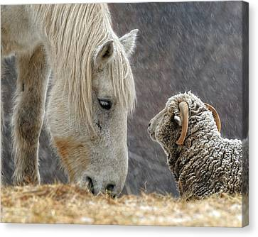 Farm Animal Canvas Print - Clouseau And Friend by Don Schroder