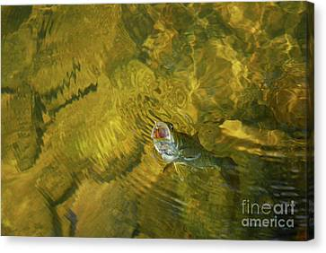 Clouser Smallmouth Canvas Print by Randy Bodkins