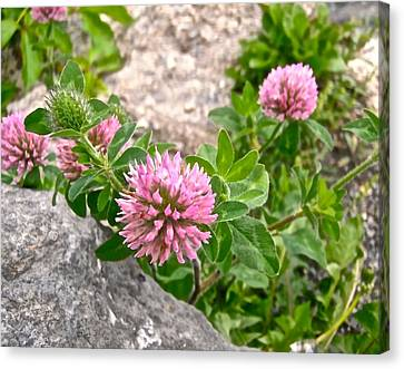 Clover On The Rocks Canvas Print by Stephanie Moore