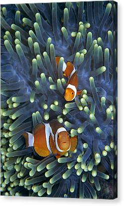 Clown Anemonefish Amphiprion Ocellaris Canvas Print