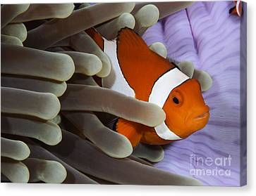 Clown Anemonefish, Indonesia Canvas Print by Todd Winner