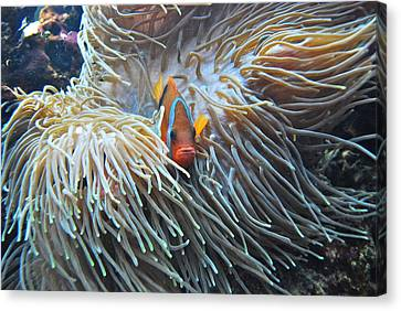 Clown Fish Canvas Print by Michael Peychich