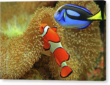 On The Move Canvas Print - Clownfish And Regal Tang by Aamir Yunus