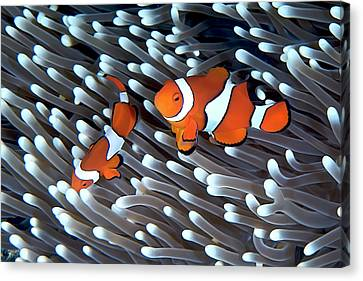 Two Fish Canvas Print - Clownfish by Copyright Melissa Fiene