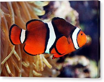 Canvas Print featuring the photograph Clownfish by Kathleen Stephens