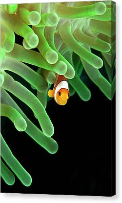 Clownfish On Green Anemone Canvas Print