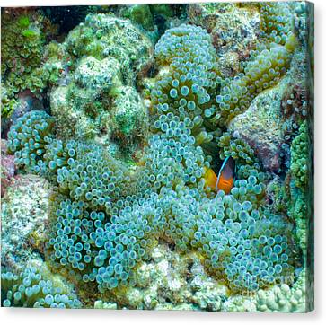 Clownfish Peek-a-boo Canvas Print