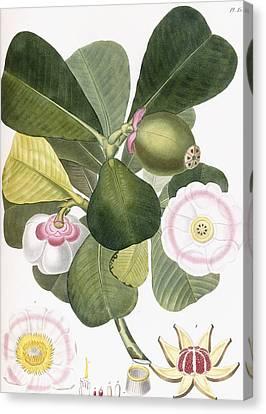 Clusia Rosea Canvas Print by Pierre Antoine Poiteau