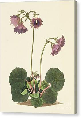 Purple Flowers Canvas Print - Clusius's Soldanella by Margaret Roscoe