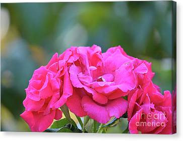 Cluster Of Roses Canvas Print by Ruth Housley