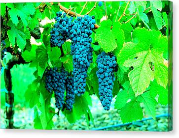 Vintner Canvas Print - Cluster Of Wine Grapes by Jeff Swan