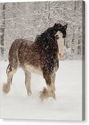 Clydesdale In The Snow Canvas Print