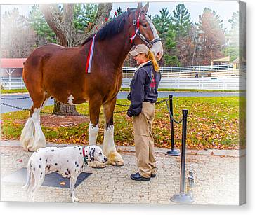 Clydesdale With Handler And His Companion Canvas Print