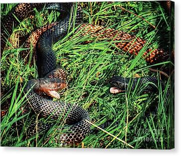 Coachwhip Snakes Waiting Canvas Print