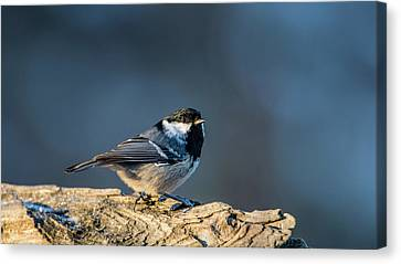 Canvas Print featuring the photograph Coal Tit's Colors by Torbjorn Swenelius