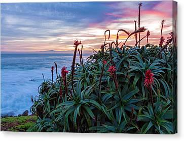 Coastal Aloes Canvas Print