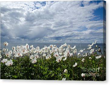 Coastal Backlit Anemones Canvas Print