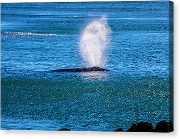 Blowhole Canvas Print - Coastal Gray Whale by Garry Gay