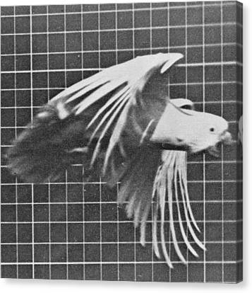 Cockatoo In Flight Canvas Print by Eadweard Muybridge