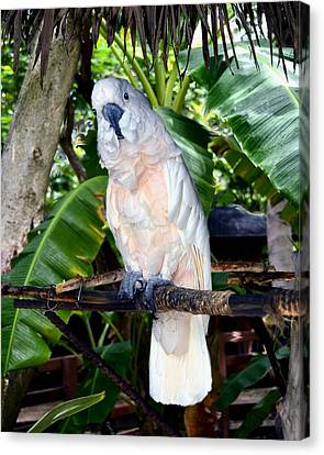 Cockatoo On Perch Canvas Print