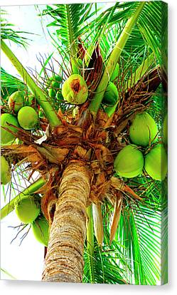 Coco Palm Canvas Print