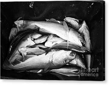 cod pollock and other sea fish caught on a fishing trip Reykjavik iceland Canvas Print by Joe Fox
