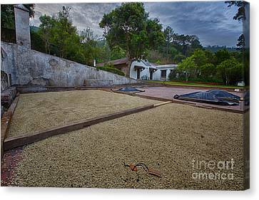 Coffe Production Canvas Print