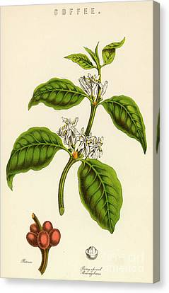 Coffee Beans Canvas Print - Coffee by English School